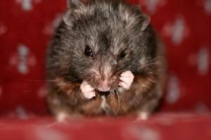 Blog Hamster