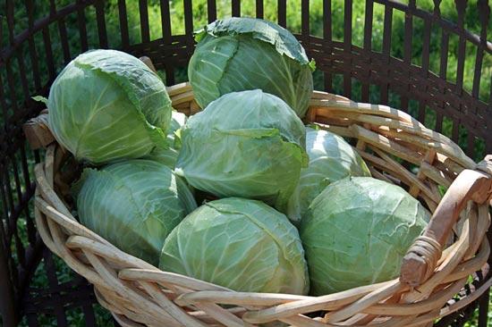 cabbage-550-jpg