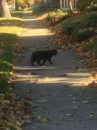 black-cats