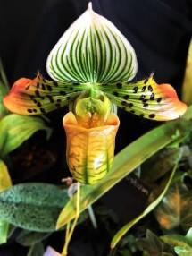 Orchid Paph. Venustum