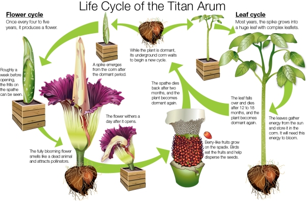 Life Cycle of Titan Arum